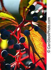 Japanese creeper, Boston ivy, Grape ivy, Japanese ivy, and...