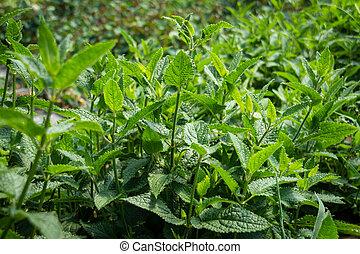 Japanese crosne plant foliage