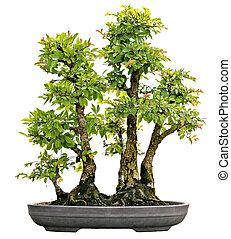 Japanese Evergreen Bonsai on Display Isolated