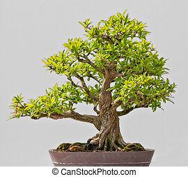 Japanese Evergreen Bonsai on Display grey background