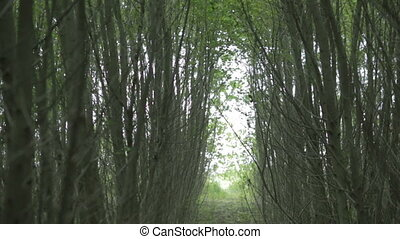 Japanese fast-growing poplar, fast production of wood, the...