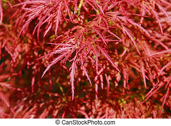 Japanese fire bush maple tree