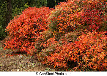 Japanese Fire bushes