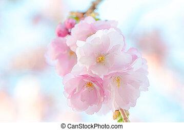 Japanese flowering cherry in a cluster - Prunus Serrula on...