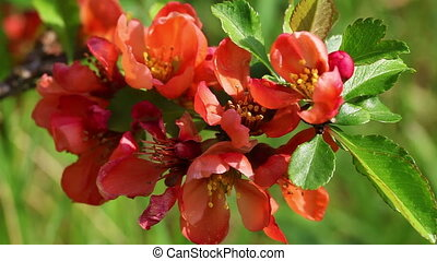 Japanese flowering quince in a Macro shot