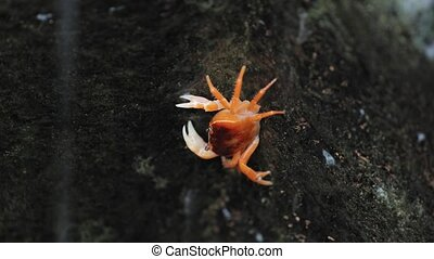 Japanese freshwater crab climbing in a small stream with waterfall