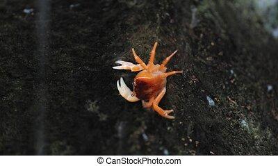 Japanese Freshwater Crab - Japanese freshwater crab climbing...