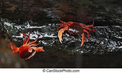 Japanese Freshwater Crab - Japanese freshwater crabs climing...