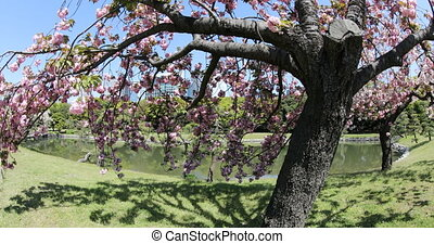 Japanese garden Cherry blossom - Blossoming cherry tree in...