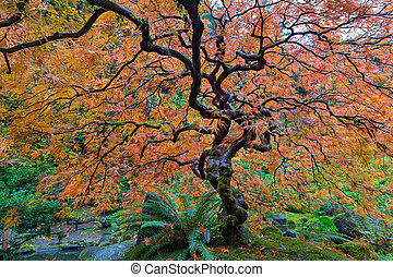 Japanese Garden Lace Leaf Maple Tree in Fall