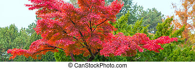 Japanese garden with red maple
