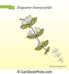 Japanese honeysuckle Lonicera japonica , medicinal plant. Hand drawn botanical vector illustration
