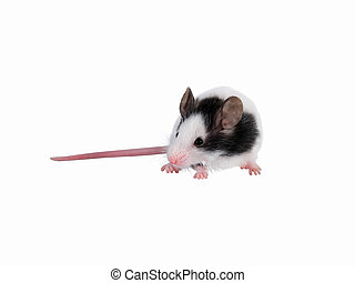 Japanese house mouse