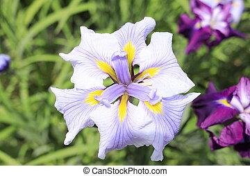 Japanese iris (single flower)
