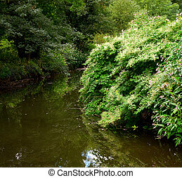 Japanese knotweed Fallopia japonica growing on an english...