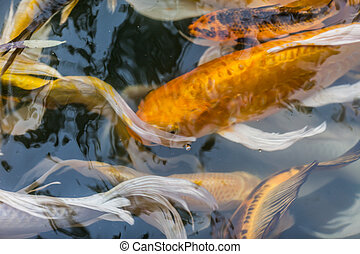 Koi in the pond in the morning for Koi pond you can swim in