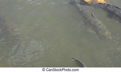 Japanese koi swimming in water