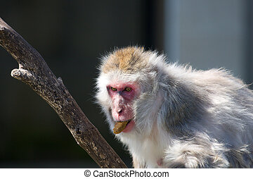Japanese Macaque Eating