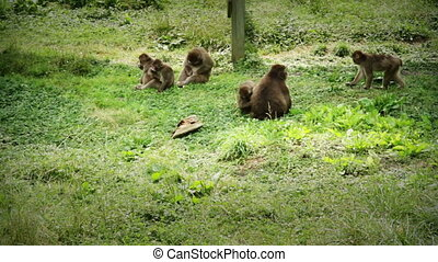 Japanese Macaque Family