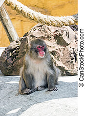 Japanese macaque in the north of Honshu near residential buildings