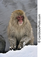 Japanese macaque near natural hot spring. The Japanese macaque ( Scientific name: Macaca fuscata), also known as the snow monkey. Natural Habitat. Japan.