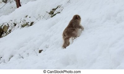 japanese macaque or monkey searching food in snow - animals,...