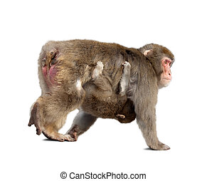 Japanese macaque with cub. Isolated over white background ...