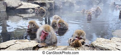 Japanese Macaques - Japanese Snow Monkeys (macaques) in...