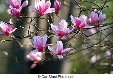 Japanese Magnolia - Beautiful spring blooms on a japanese...