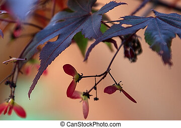 Japanese Maple in Autumn with seed