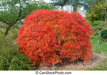 Acer Pazmatum tree otherwise known as from Japanese Maple the dissectum atropurpureum group