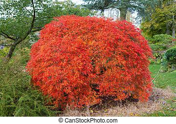 Japanese Maple Acer tree