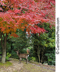 Japanese maple autumn color leaves with deer