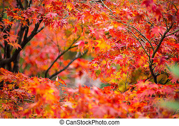 Japanese maple for background.