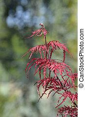 Japanese Maple Garnet leaves - Latin name - Acer palmatum Garnet