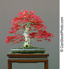 Japanese maple in spring - Japanese maple, Acer palmatum,...