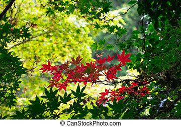 Japanese maple.