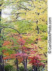 Japanese maple leaf in autumn season