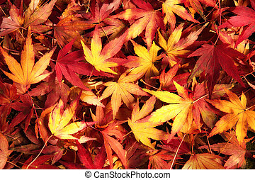Japanese maple leaves in dreamy warm colors lying on the...