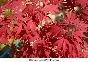 leaves of a japanese maple tree