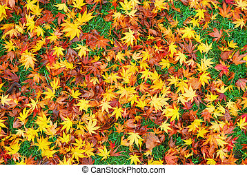 Japanese maple leaves on the ground creating colorful ...