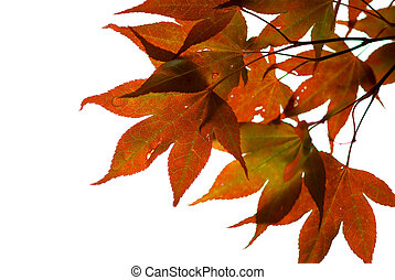 Japanese maple leaves on white background