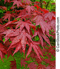 Japanese Maple - A picture of a Japanese Maple