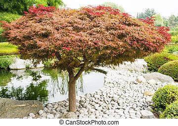 Japanese maple (acer palmatum dissectum)tree in a japanese garden