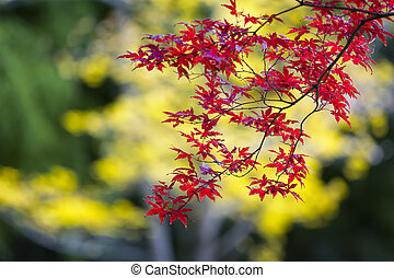 Japanese Maple Tree on a colorful Fall Day - Beautiful red ...