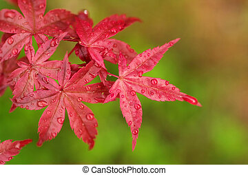 Japanese maple tree - Vivid red leaves of the Japanese maple...