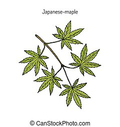 Japanese-maple, vector illustration - Acer japonicum, Amur...