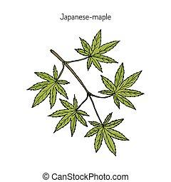 Japanese-maple, vector illustration