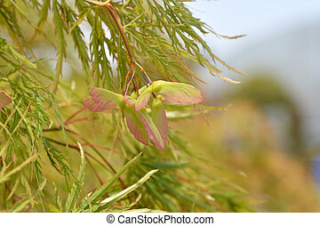 Japanese Maple Viridis - Latin name - Acer palmatum dissectum Viridis