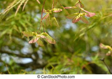 Japanese Maple Viridis